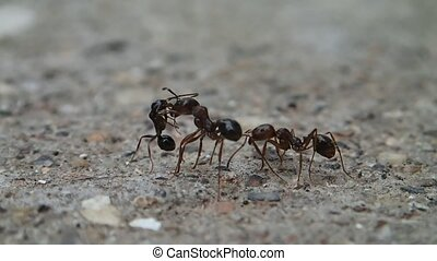Ants meeting - Three ants meeting each other