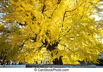 The fall season of Nishi Honganji temple in Kyoto - KYOTO,...