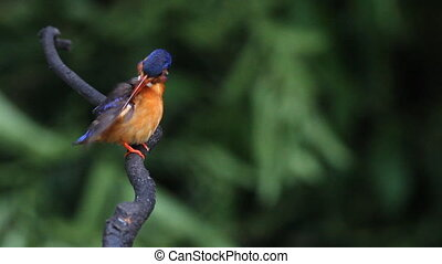 Blue-eared Kingfisher female preen feathers on branch