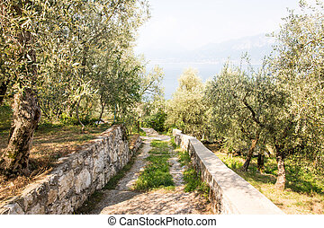 Olive grove seen at Lake Garda in Italy