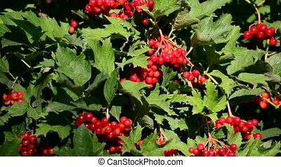 Bunch of ripe Viburnum on branch - Bunch of ripe Viburnum on...