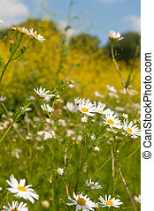 White daisies in front of yellow cole seed