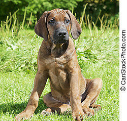 Pure breed Rhodesian Ridge-back puppy dog - Two month old...