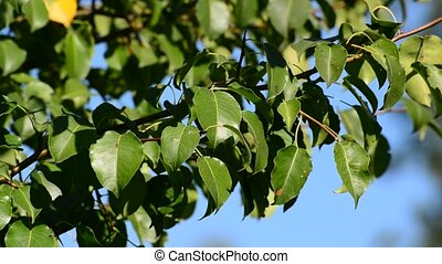 pear tree branch with leaves on the wind in  summer