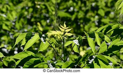 Young maplebox elder on sunny day - Young maplebox elder on...