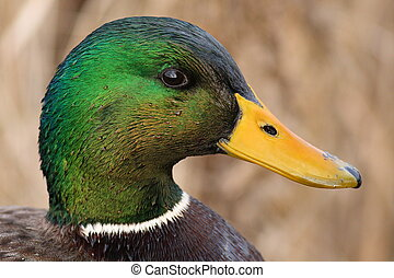 Mallard Drake Head - A drake Mallard\'s beautiful water...