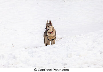 Czechoslovakian wolf dog - A Czechoslovakian wolf dog with...