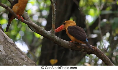 Brown-winged Kingfisher Mating - Brown-winged Kingfisher...