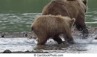 Grizzly bear and salmon - Grizzly bear fishing in water