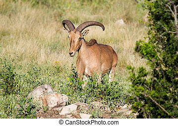 Aoudad sheep standing behind rocks and brush