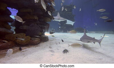 Reef sharks swim underwater