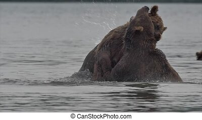 Grizzly Bears fighting - Two Grizzly Bears fighting