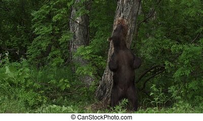 brown bear in the forest - Courtship bears in the forest...