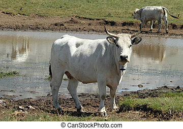 white cow in front of watering - place, central Italy,...