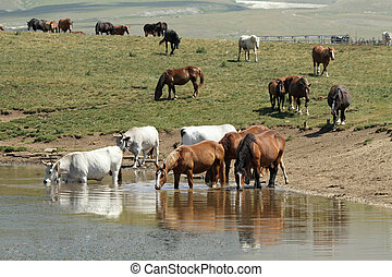 horses and cows at watering place, Campo Imperatore in...