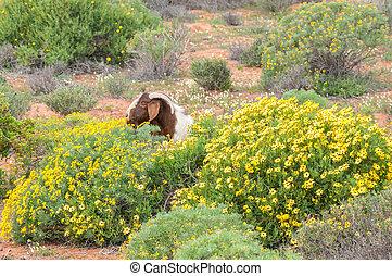Boerbok eats flowers - A boerbok (boer goat), a species...
