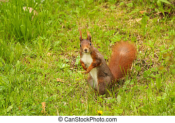 Brown squirrel starring in a cute way can be used for...