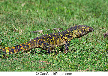 Nile monitor ( Varanus niloticus ) is crawling in African...