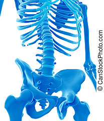 the skeletal lumbar spine - medically accurate illustration...