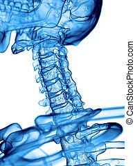 the cervical spine - accurate medical illustration of the...