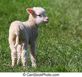 Spring Lamb - A free range Lamb is a familiar sight in the...