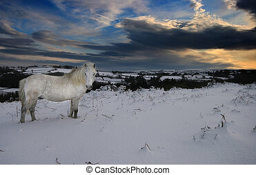 Solitary Dartmoor pony in snow - Whilst all the other...