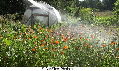 watering medical marigold flowers - Man gardener farmer...