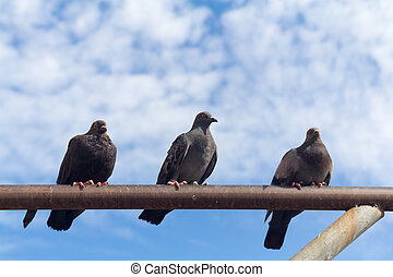 three pigeon perch on a Rack with clear blue sky