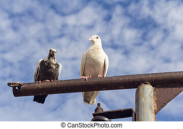 two pigeon perch on a Rack with clear blue sky