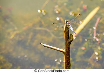 Dragonfly on a Branch - Closeup of a dragonfly on a branch...