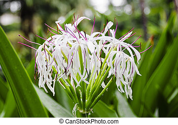 White Spider Lily in Bloom - Beautiful white spider lily...