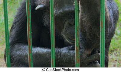 Adult common chimpanzee - Adult male common chimpanzee...