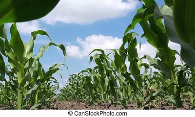 Green corn plants - Green maize corn plants growing in...