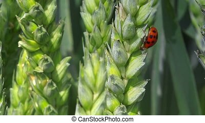 Ladybird beetle on wheat ear in field, lady bug walking on...