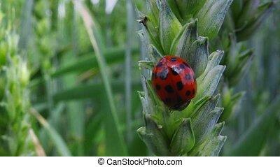 Ladybird beetle on wheat ear in field, lady bug walking on...