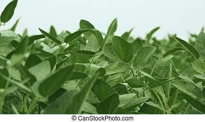 Green soybean crops in field, young green soya bean plants...