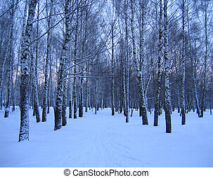 winter trees - birch trees in a winter park