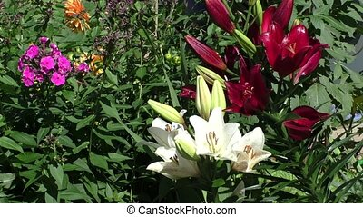 Bright Lily grow in the flower bed in the garden