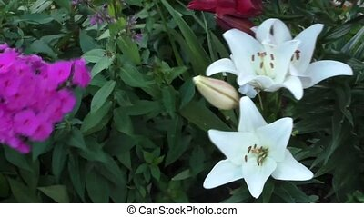 Bright Phlox and lilies grow in the garden