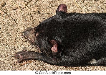 Tasmanian devil sleeping on sand - close up of Tasmanian...