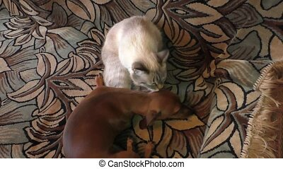 cat licks a dog the rate - The Thai cat licks a dog the rate