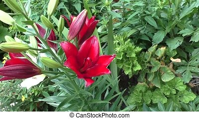 Bright claret lilies in a garden