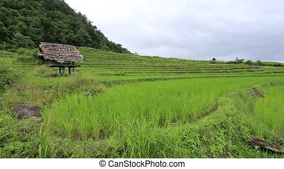 Rice terraces in Thailand
