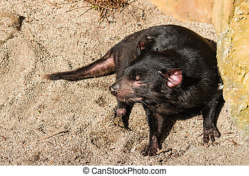Tasmanian devil basking on sand - close up of Tasmanian...