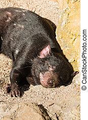 resting Tasmanian devil - closeup of resting Tasmanian devil