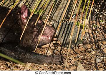 sleeping Tasmanian devil - close up of sleeping Tasmanian...