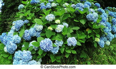 Hortensia tree in botanic garden