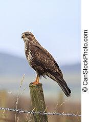 Buzzard (Buteo buteo) perched on a post