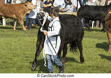 cow being judged - Harrogate, England - July 15th, 2015: cow...