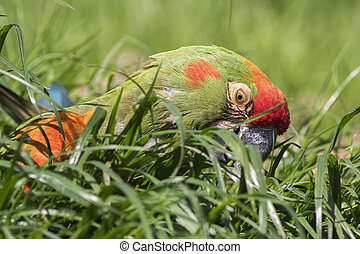 red-fronted macaw - red fronted macaw on the ground close-up